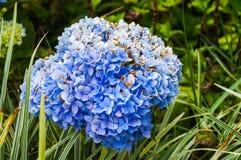 Flor azul de Hydranyea Fotos de Stock