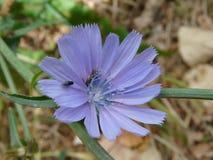 Flor azul de la achicoria Imagen de archivo libre de regalías