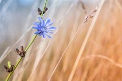 Flor azul de la achicoria en muertos y cardo secado Imágenes de archivo libres de regalías
