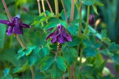 Flor azul de la aguileña europea Aquilegia vulgaris Cierre para arriba Foto de archivo