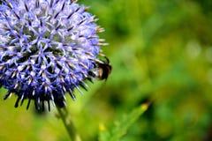 Flor azul de la bola Fotos de archivo