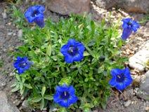 Flor azul de la genciana en primavera Imagen de archivo libre de regalías