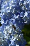 Flor azul de la hortensia con la abeja Imagenes de archivo