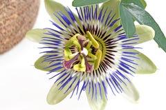 Flor azul de la pasión Imagen de archivo libre de regalías