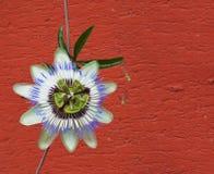 Flor azul de la pasión Foto de archivo libre de regalías