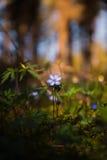 Flor azul de la primavera en la luz del sol Foto de archivo libre de regalías