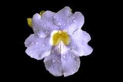 Flor azul de la vid de trompeta Fotos de archivo