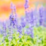 Flor azul de Salvia Fotos de archivo libres de regalías