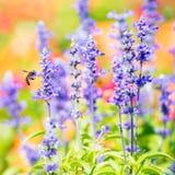 Flor azul de Salvia Fotografía de archivo libre de regalías