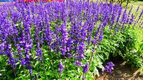 Flor azul de Salvia foto de archivo libre de regalías