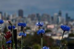 Flor azul de San Francisco Foto de archivo