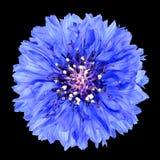 Flor azul del aciano aislada en fondo negro Imagenes de archivo