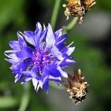 Flor azul del aciano entre hierba verde Imagen de archivo libre de regalías