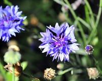 Flor azul del aciano entre hierba verde Foto de archivo libre de regalías
