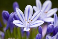 Flor azul del Agapanthus Fotos de archivo