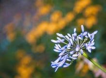 Flor azul del alium Fotos de archivo