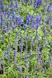 Flor azul del angustifolia del lavandula Imágenes de archivo libres de regalías
