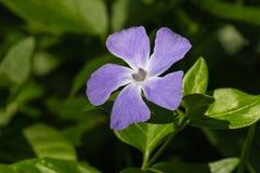 Flor azul del bígaro Foto de archivo libre de regalías