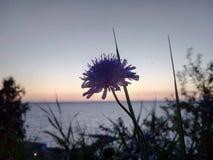 Flor azul del campo, aciano, en el fondo del río, hierba, puesta del sol, agua Silueta oscura de una flor en a fotos de archivo