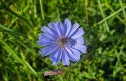 Flor azul del campo con una abeja y un polen que se aferra a él Fotos de archivo