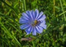 Flor azul del campo con una abeja y un polen que se aferra a él Imagen de archivo