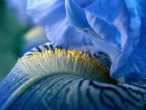 Flor azul del diafragma Fotos de archivo libres de regalías