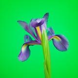 Flor azul del diafragma Fotos de archivo