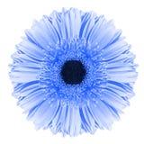 Flor azul del gerbera Fotografía de archivo