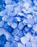 Flor azul del hydrangea Foto de archivo