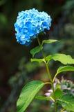 Flor azul del hydrangea Fotografía de archivo