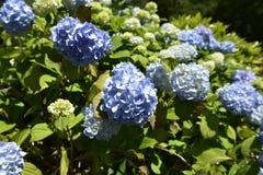 Flor azul del hydrangea Foto de archivo libre de regalías