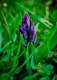 Flor azul del jacinto Fotografía de archivo libre de regalías