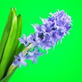 Flor azul del jacinto Imagen de archivo