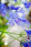 Flor azul del lirio africano del Agapanthus Imagen de archivo