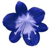 Flor azul del lirio, aislada con la trayectoria de recortes, en un fondo blanco pistilos azules claros, estambres Centro azul cla imagen de archivo