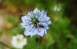 Flor azul del maíz Fotos de archivo