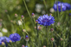 Flor azul del maíz fotografía de archivo