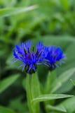 Flor azul del maíz Foto de archivo libre de regalías