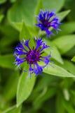 Flor azul del maíz Fotografía de archivo libre de regalías