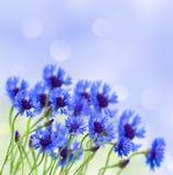Flor azul del maíz en campo Imagen de archivo