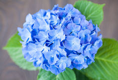 Flor azul del macrophylla de la hortensia fotografía de archivo