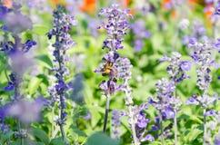 Flor azul del salvia en abeja Foto de archivo