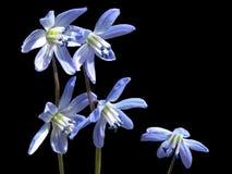 Flor azul del snowdrop o de la primavera-uno que parece espectacular en el jardín, en un claro del bosque y en un fondo negro Imagenes de archivo