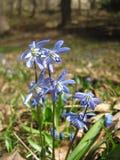 Flor azul del snowdrop o de la primavera-uno que parece espectacular en el jardín y en un claro del bosque Fotos de archivo libres de regalías