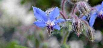 Flor azul del verano Imágenes de archivo libres de regalías