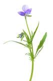Flor azul do amor perfeito Fotos de Stock Royalty Free