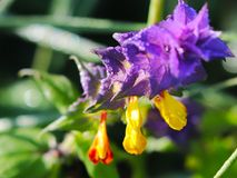 A flor azul do campo em um fundo verde Foto macro de uma planta e de insetos do campo nos raios de luz solar Um morno e agradável imagem de stock