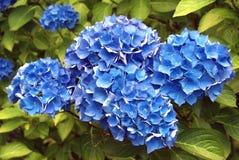 Flor azul do duraniam imagens de stock