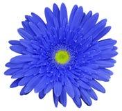 A flor azul do gerbera, branco isolou o fundo com trajeto de grampeamento closeup Nenhumas sombras Para o projeto Imagens de Stock