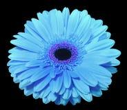 A flor azul do gerbera, enegrece o fundo isolado com trajeto de grampeamento closeup , Foto de Stock Royalty Free